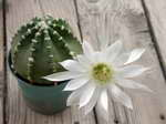Echinopsis riviere decaraltii