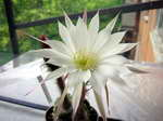 Echinopsis_riviere_decaraltii